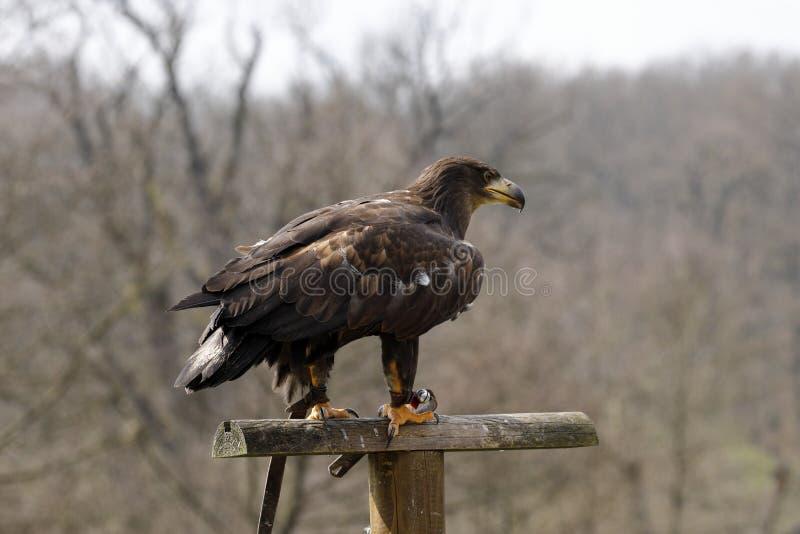 在猎鹰训练术的老鹰 库存图片
