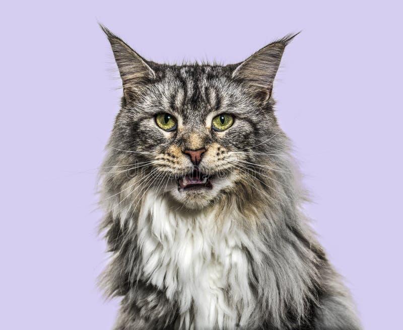 在猫叫一只主要的树狸猫的特写镜头,紫色背景 免版税库存照片