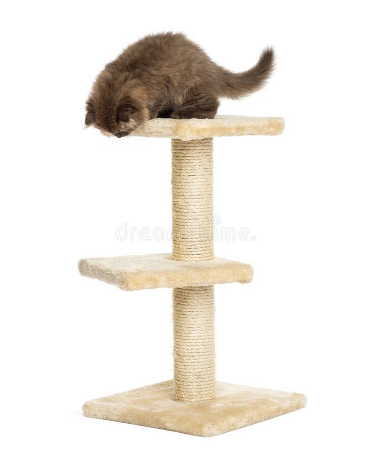 在猫树顶部的高地折叠小猫,看下来 库存照片