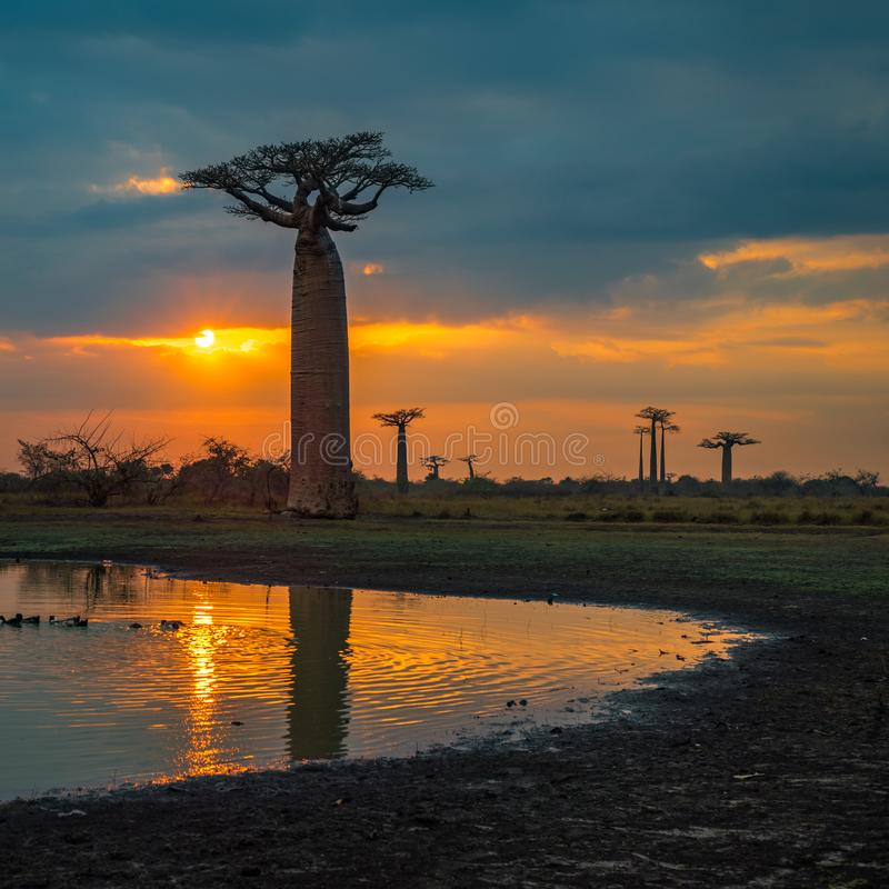 在猴面包树的大道,马达加斯加的日落 免版税库存照片