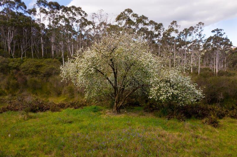 在玉树包围的草甸的开花的苹果树 库存图片