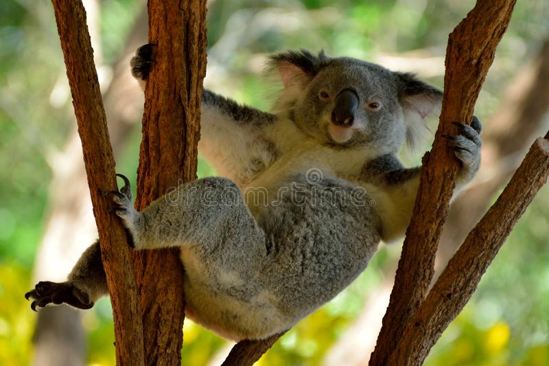 在玉树的滑稽的考拉在昆士兰,澳大利亚 免版税库存照片