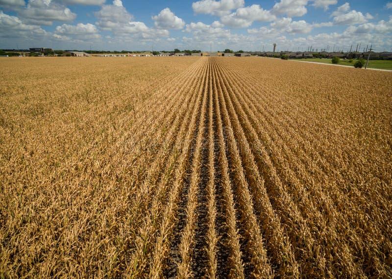 在玉米上的空中寄生虫视图播种玉米干燥天旱气候变化长的行  免版税库存照片