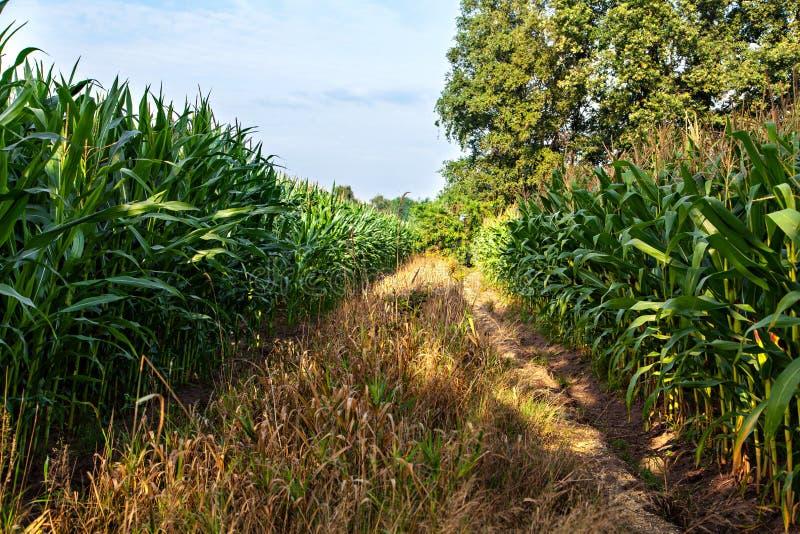 在玉米中间的领域的路 免版税库存照片