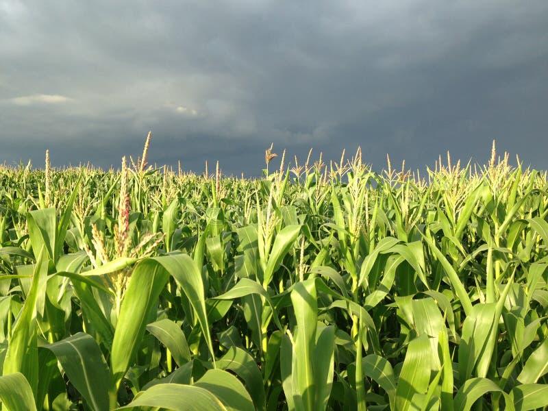 在玉米田的风雨如磐的天空 图库摄影