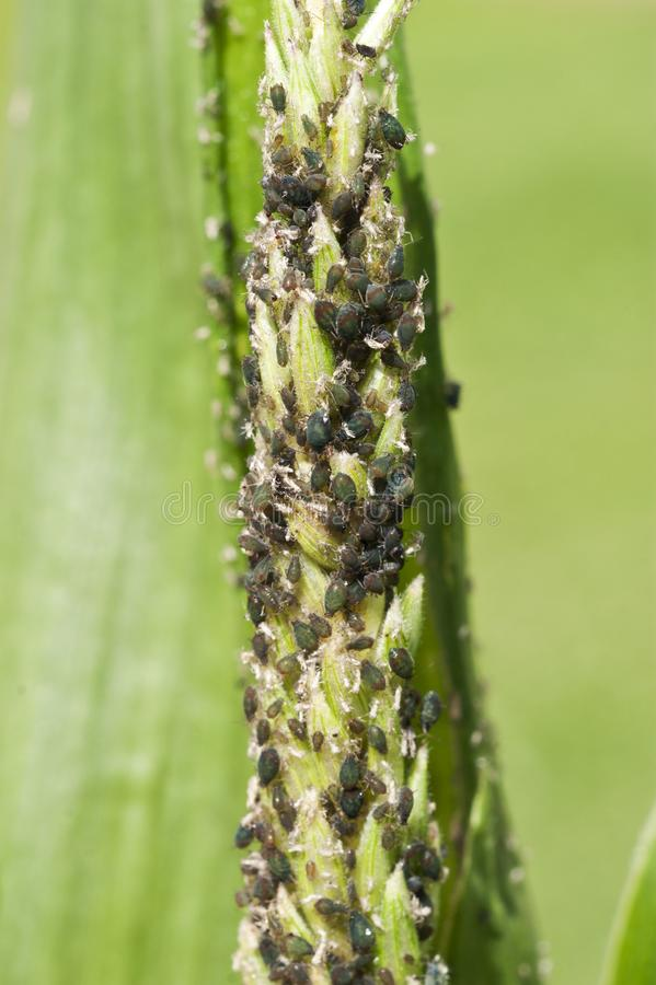 在玉米的蚜虫大批出没 免版税库存照片