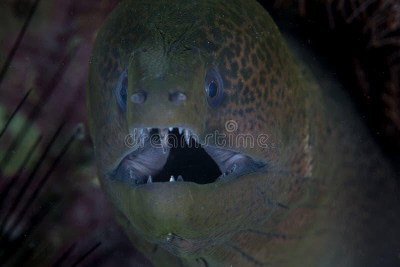 在王侯Ampat的巨型海鳝 库存照片