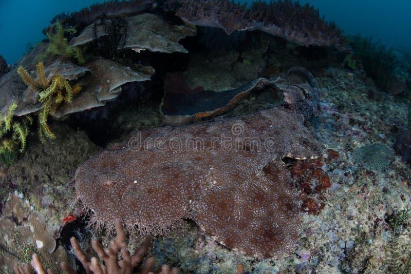 在王侯Ampat的用穗缨装饰的Wobbegong鲨鱼 库存图片