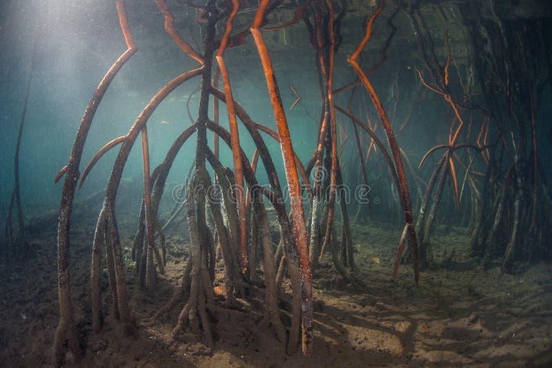 在王侯Ampat的红色美洲红树根 免版税图库摄影