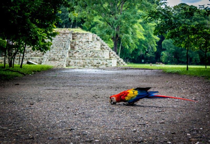在玛雅废墟考古学站点- Copan,洪都拉斯的猩红色金刚鹦鹉 库存图片