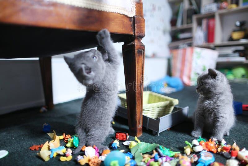 在玩具中的逗人喜爱的英国Shorthair小猫 库存图片