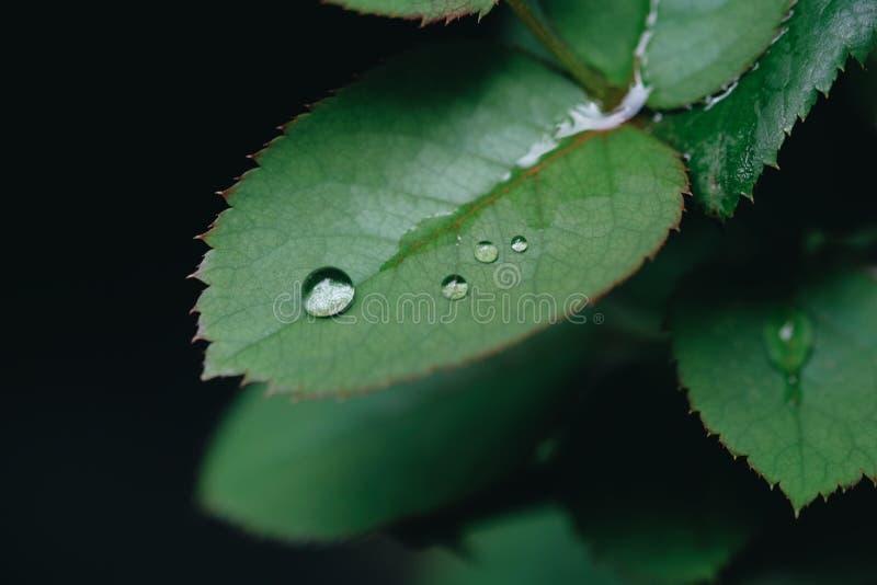 在玫瑰的叶子的水滴水 库存照片