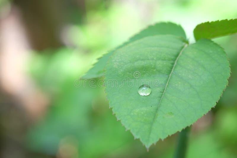 在玫瑰的叶子的水滴水 库存图片