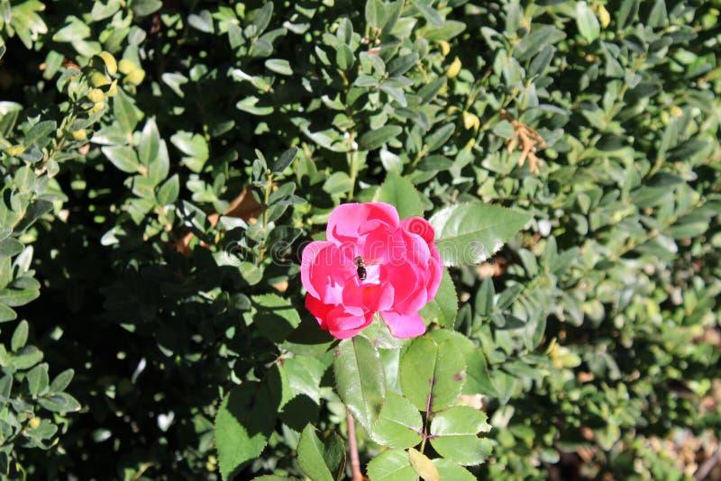 在玫瑰的蜂 免版税库存照片