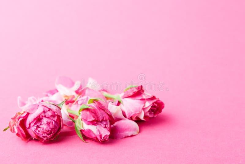 在玫瑰色背景的美丽的桃红色花蕾 库存图片
