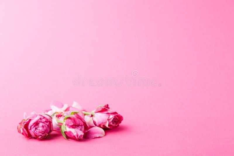 在玫瑰色背景的美丽的桃红色花蕾 库存照片