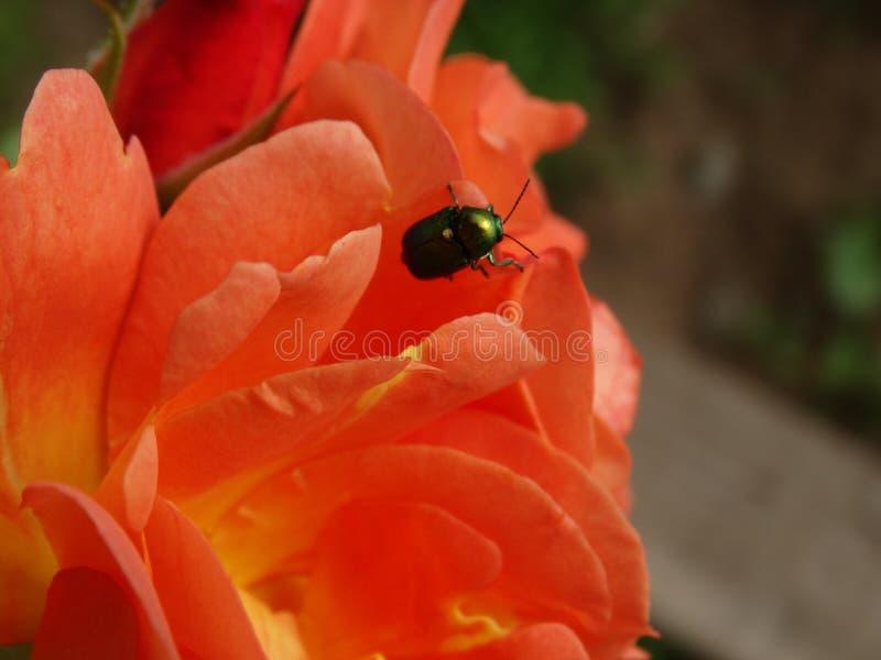 在玫瑰花瓣的一只美丽的古铜色甲虫 免版税库存图片