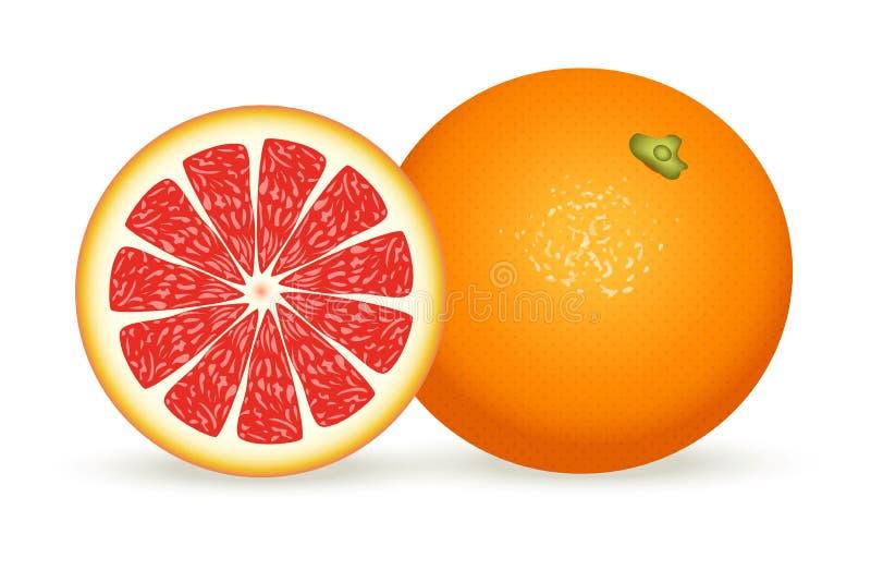 在现实样式的新鲜的葡萄柚 在空白背景查出的向量例证 向量例证