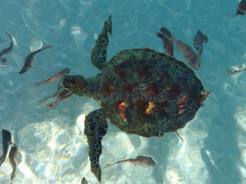 在玻利尼西亚乌龟之上 库存照片