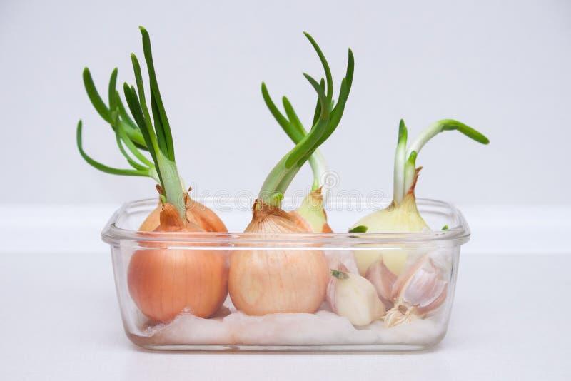 在玻璃容器和大蒜在家种植的大葱 有机,新鲜的家庭菜园 免版税图库摄影
