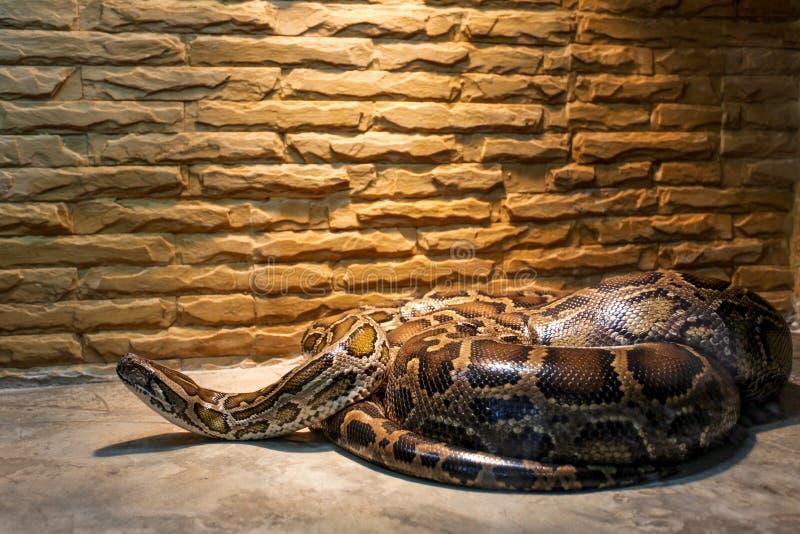 在玻璃容器的大蛇 免版税库存照片