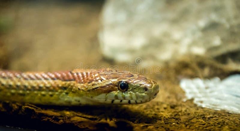在玻璃容器的布朗蛇在动物园里 免版税图库摄影