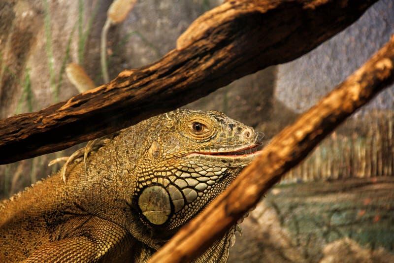 在玻璃容器的成人鬣鳞蜥 免版税库存照片