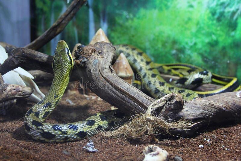 在玻璃容器的蛇 免版税图库摄影