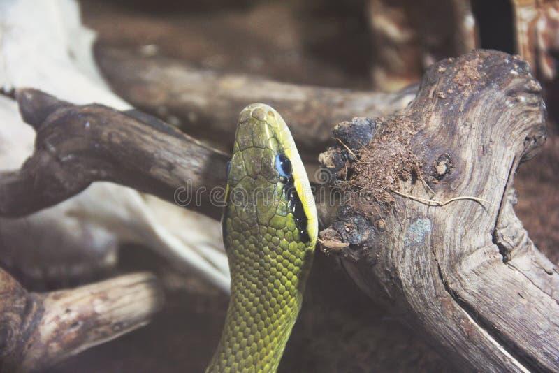 在玻璃容器的蛇 库存图片