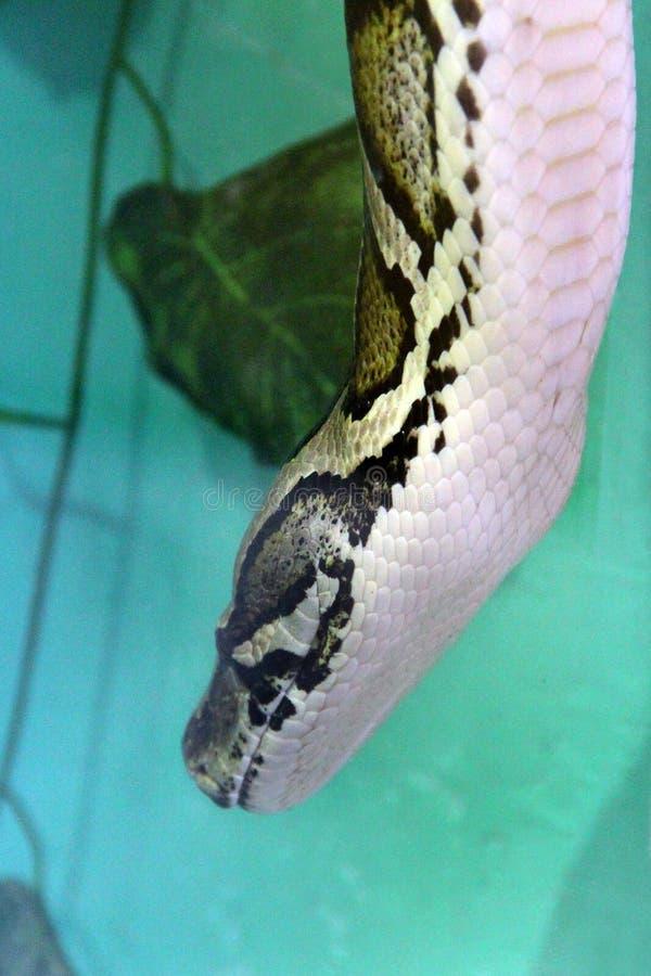 在玻璃容器的蛇 免版税库存图片