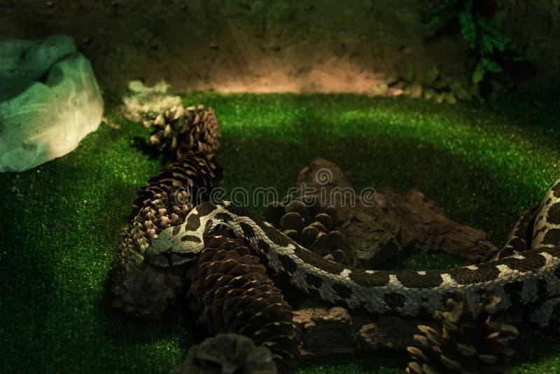 在玻璃容器,非常积极的有毒蛇蝎的蝰蛇属xanthina 库存图片