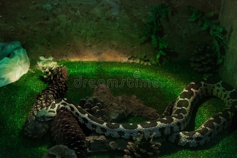 在玻璃容器,非常积极的有毒蛇蝎的蝰蛇属xanthina 免版税库存图片