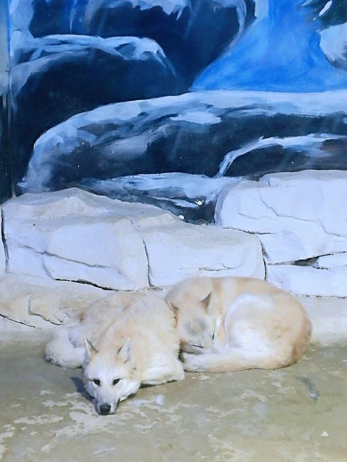 在玻璃房子里困住的北极狼 免版税库存照片