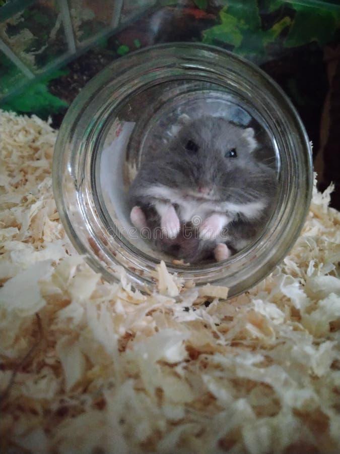 在玻璃的仓鼠 库存照片