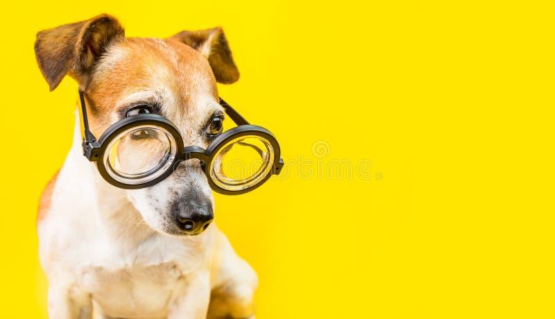 在玻璃的好奇严肃的逗人喜爱的狗起重器罗素狗在黄色背景 水平的横幅 回到学校 免版税库存图片