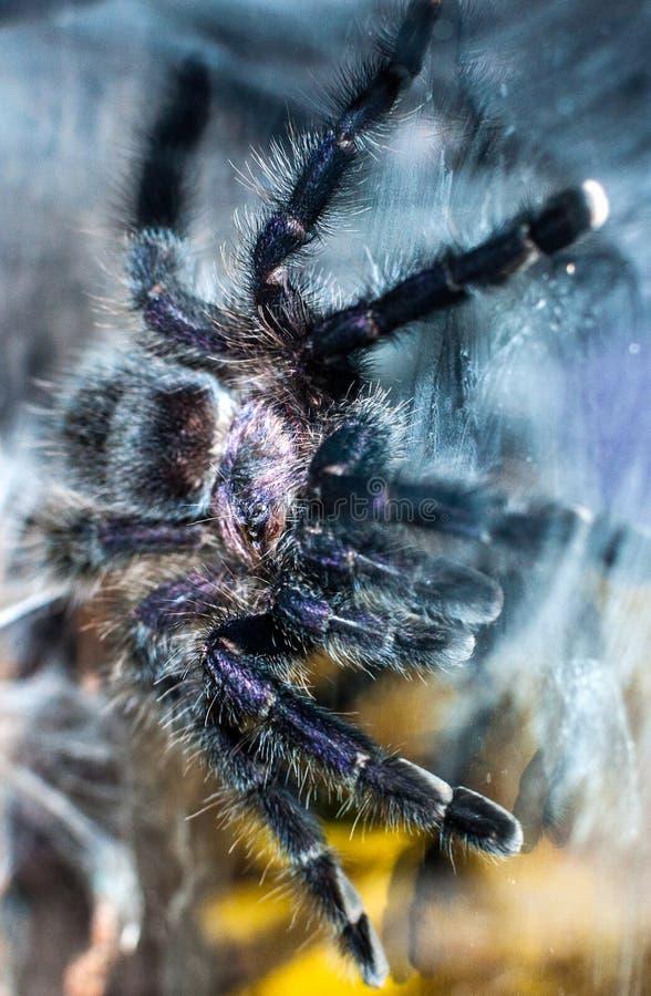 在玻璃的紫色Pinktoe塔兰图拉毒蛛 免版税库存图片