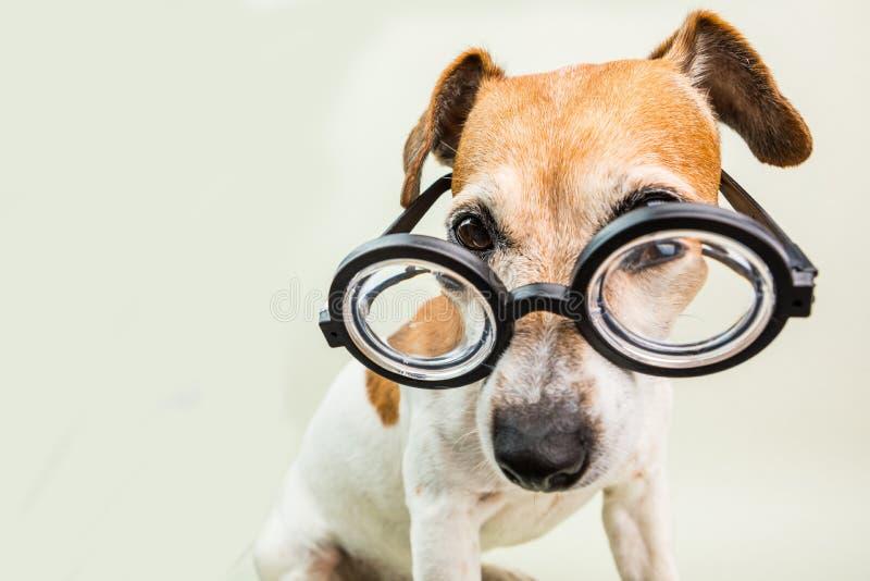在玻璃的聪明的教育的狗 滑稽的宠物起重器罗素狗 免版税图库摄影
