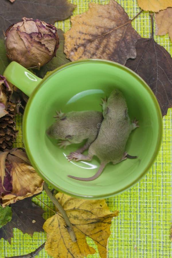 在玻璃的鼠 两只老鼠在一个绿色杯子坐 免版税库存照片