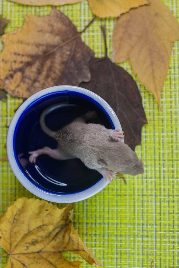 在玻璃的鼠 在一个大杯子特写镜头的老鼠 在盘的啮齿目动物 免版税库存图片
