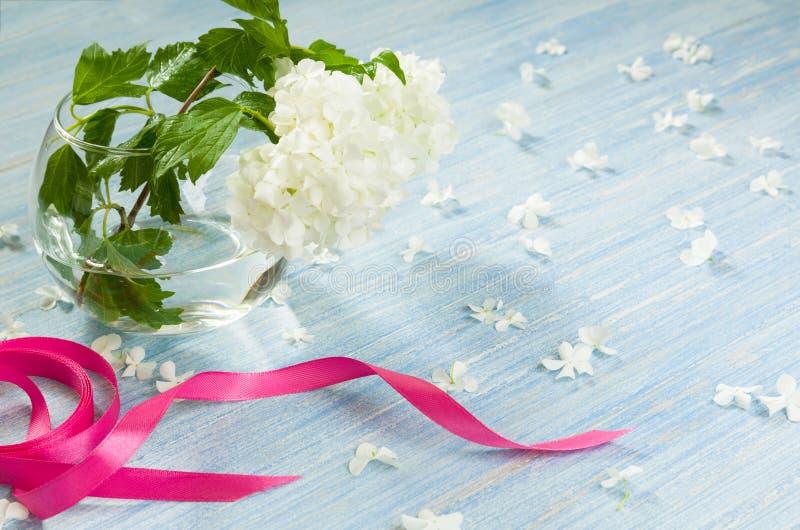 在玻璃花瓶的八仙花属花用水和在蓝色木桌背景的桃红色丝带 库存照片