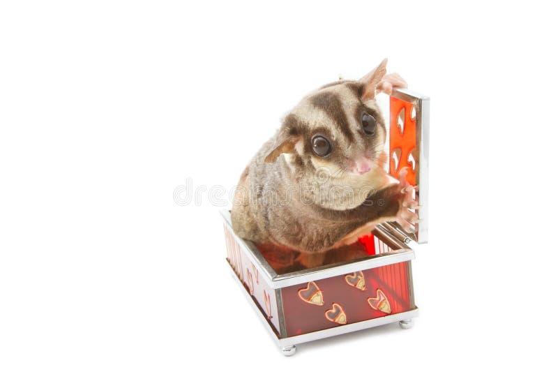 在玻璃配件箱的糖滑翔机 免版税库存图片