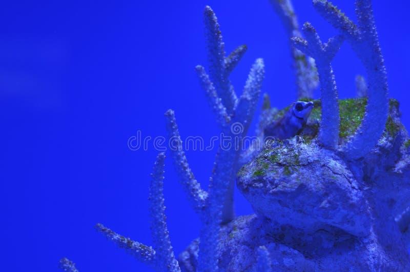 在珊瑚中的一条小多刺的鱼 库存照片