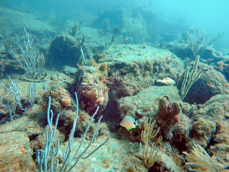 在珊瑚中的鱼游泳鲳参海滩 库存照片