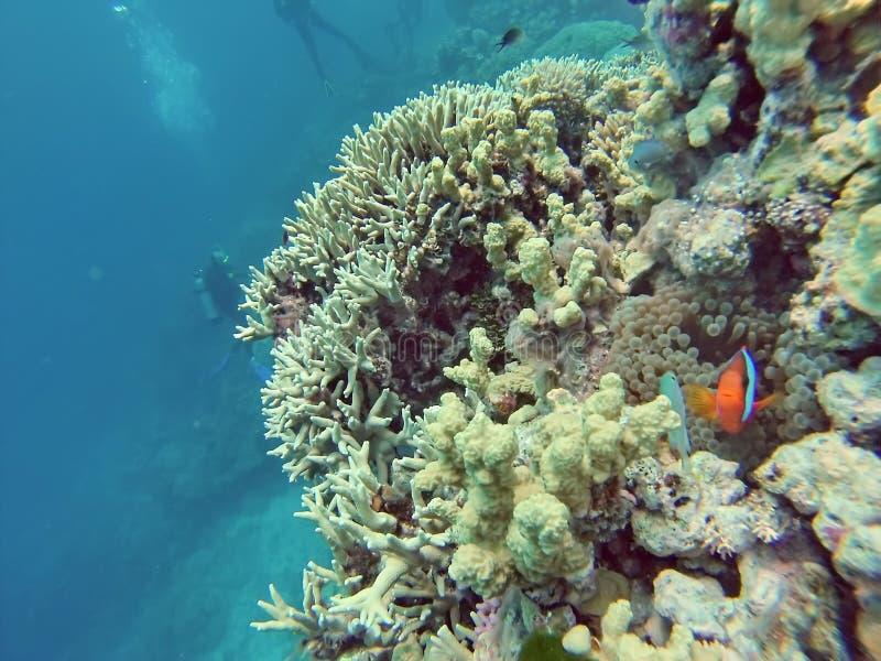 在珊瑚头的小丑鱼在大堡礁 免版税库存图片