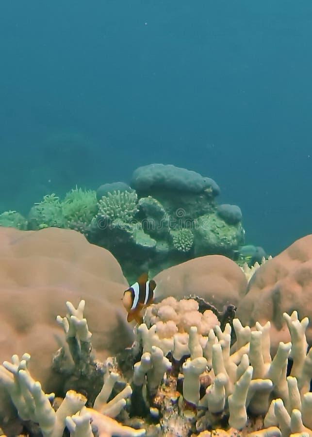 在珊瑚头的小丑鱼在大堡礁 库存照片