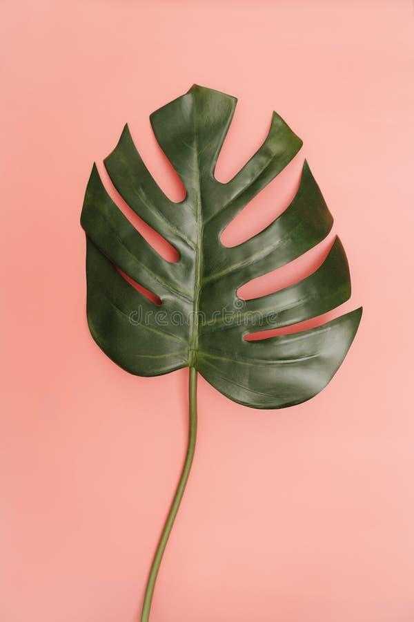 在珊瑚桃红色背景的唯一monstera棕榈叶 免版税库存照片
