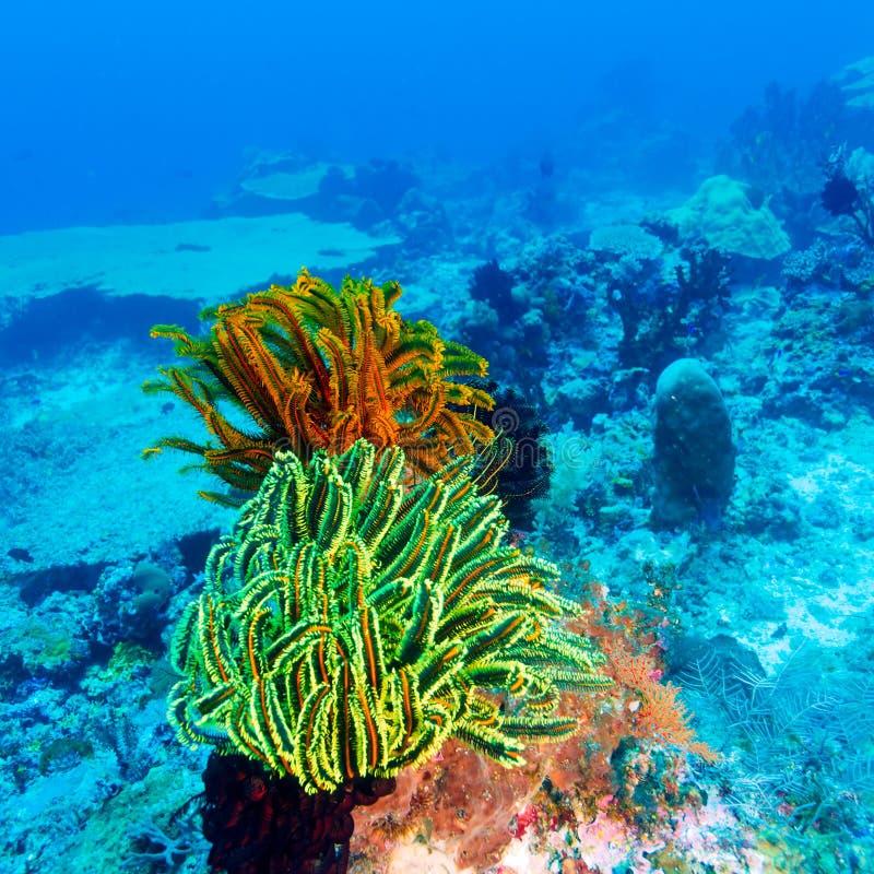 在珊瑚热带礁石的五颜六色的海百合 免版税库存图片
