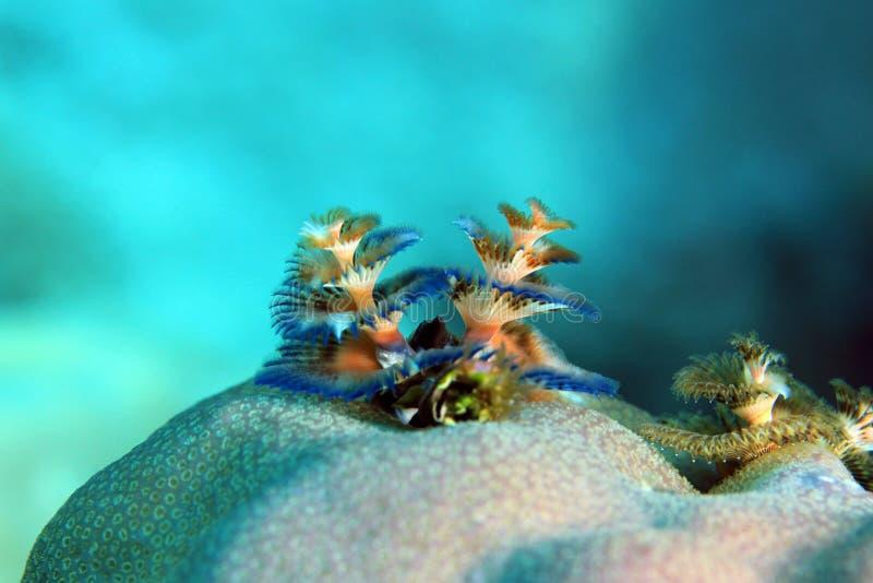 在珊瑚的圣诞树蠕虫 免版税图库摄影