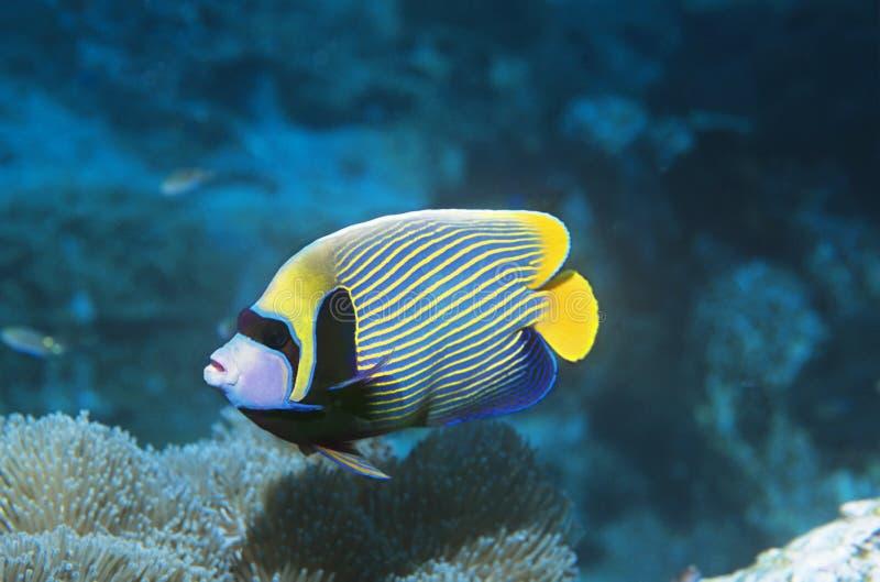 在珊瑚的皇帝神仙鱼 库存照片