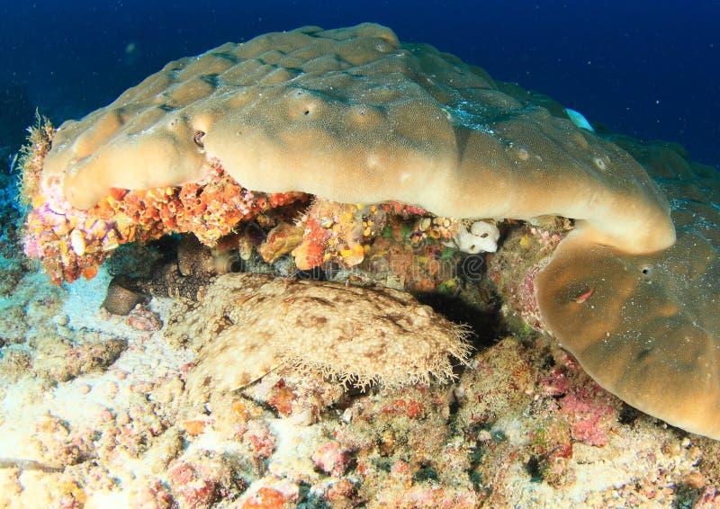 在珊瑚礁下的Wobbegong鲨鱼 免版税库存照片